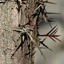 Honey Locust Tree Thorns