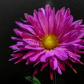 Awakening by Dave Walters - Flowers Single Flower ( macro, mystical, spiritual, nature, colors, flowers, lumix fz2500,  )