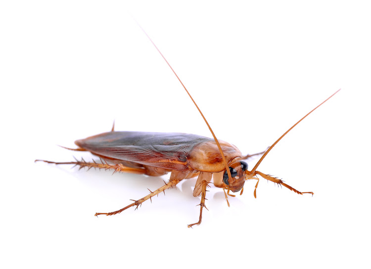Cockroaches are threatening to close down a school in the Western Cape.