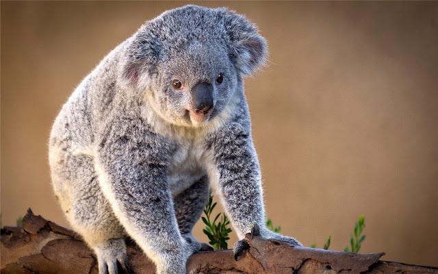 Koala Themes & New Tab