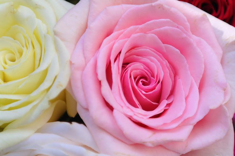 La vie en Rose di nicolettamerigo