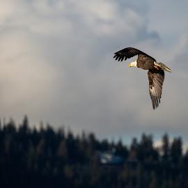 Bald Eagle in Flight by Craig Lybbert - Animals Birds ( flight, mountain, fly, eagle, bald, bald eagle )