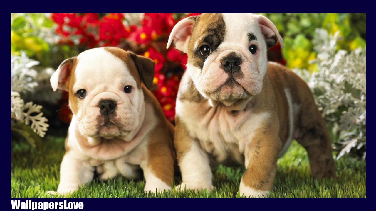 Bulldog Wallpaper Apl Android Di Google Play