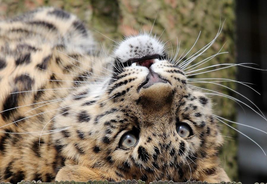 Leopard Cub by Ralph Harvey - Animals Lions, Tigers & Big Cats ( wildlife, ralph harvey, cub, leopard, marwell zoo, animal )