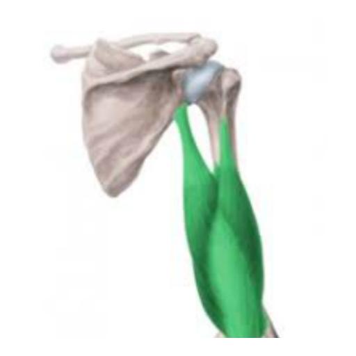 Tríceps Braquial APK download   APKPure.co