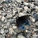 Black and Blue Butterfly