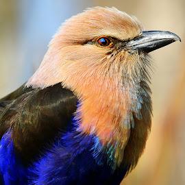 Guépier violet by Gérard CHATENET - Animals Birds