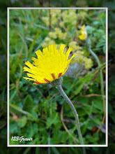 Photo: Piloselle, Hieracium pilosella