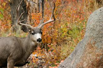 Photo: Mule Deer buck