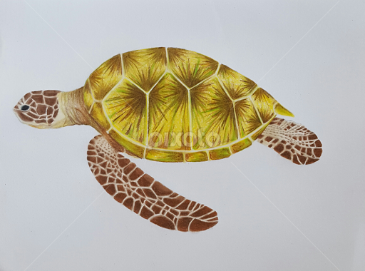 Sea Turtle All Drawing Drawing Pixoto