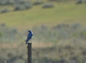 Photo: Mountain Blue Bird