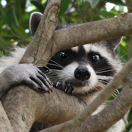 Rene 918~Q by Raphael RaCcoon - Animals Other Mammals