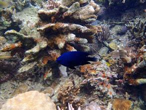Photo: Neoglyphidodon meles (Adult Bowtie or Black Damselfish), Sand Island, Palawan, Philippines.