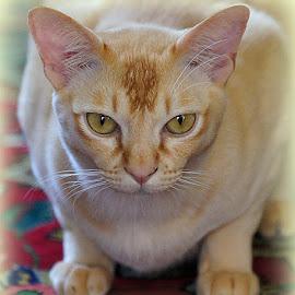 Tom by Caroline Beaumont - Animals - Cats Portraits ( orange cat, pedigree cat, red burmese cat, ginger cat, burmese cat )