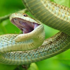 snake 1 by Irfan Maulana - Animals Reptiles