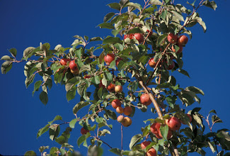 "Photo: 'Centennial' crabapple developed by the University of Minnesota, Agricultural Experiment Station.  Project #21-016, ""Breeding and Genetics of Fruit Crops for Cold Climates.""  Released in 1957."