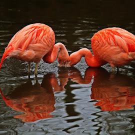 Flamingo by David Parkin - Animals Birds ( pink, bird, birds, flamingo, flamingos )