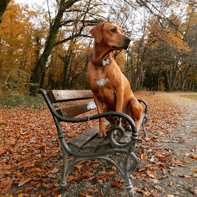 by Ivana Tilosanec - Animals - Dogs Portraits ( ridgeback, animals, sitting, dogs, park, bench, nature, autumn, pet, pets, dog portrait, dog, animal,  )
