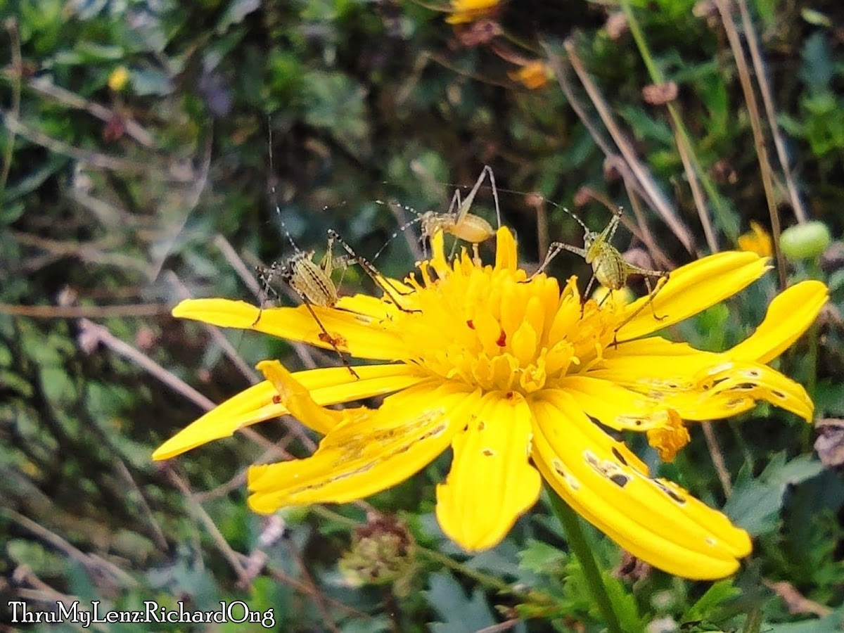 Katydid (Phaneropterinae)