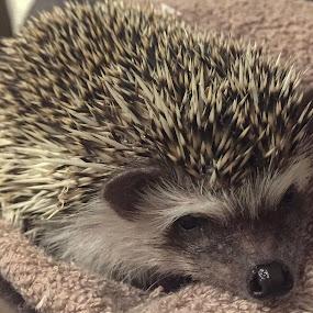 Hedgehog  by Helga Be - Animals Other ( soooo lovely )