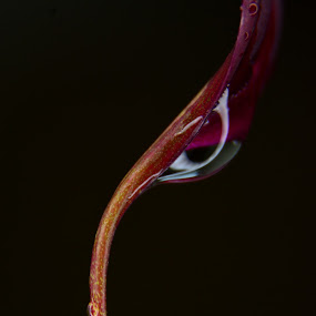 Droplet  by Chandal Chenier - Flowers Single Flower ( droplet, lily, flower )