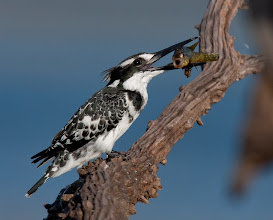 Photo: Female Pied Kingfisher, Mankwe Dam, Pilanes berg Game reserve, South Africa