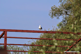Photo: What is this sea gull doing here?! We are a long way from any sea