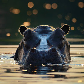 Early morning hippo by Bostjan Pulko - Animals Other Mammals ( hippo, kafue, zambia, africa )