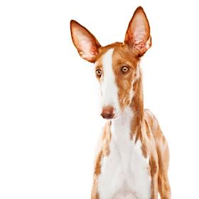 Ибицкая борзая Собаки пазл игр