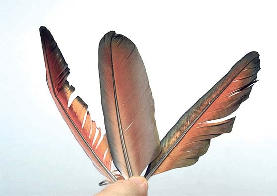 The two lateral feathers are from a bird with a nutritional disorder