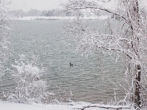 Photo: Canadian goose in a lake lined by snowy trees at Eastwood Park in Dayton, Ohio.