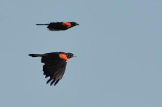 Photo: Red-winged Blackbird (Rotschulterstärling); Laguna San Felipe, PUE