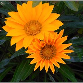by Philip Kruger - Flowers Single Flower