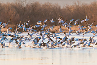 Photo: Snow geese taking off abruptly; Bosque del Apache