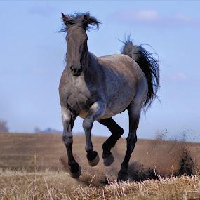 Running Free ! by Jan Siemucha - Animals Horses ( wind, pasture, grass, horse, dust, running, dirt in the air )