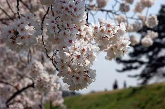 Photo: 「調布のお花見マップ」 http://chofu.com/web/sakura/