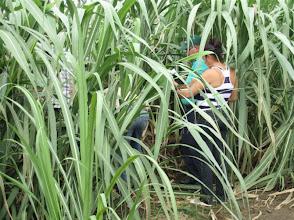 Photo: 8 ½ meses. Sustainable Sugarcane Initiative (Sistema de Caña de Azúcar Sostenible - SiCAS) 2012 [Photo by Rena Perez]