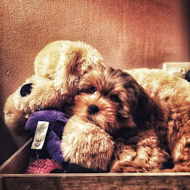 Teddy by Pamela Iain - Animals - Dogs Puppies