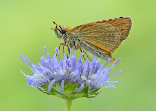 Photo: Thymelicus sylvestris, Hespérie de la houque / Bande noire, Small Skipper http://lepidoptera-butterflies.blogspot.com/ https://www.facebook.com/pages/Macro-Photography-Do-Dema/540798875993427