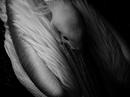 The dark side of the pelican di Roberta Ricciardi