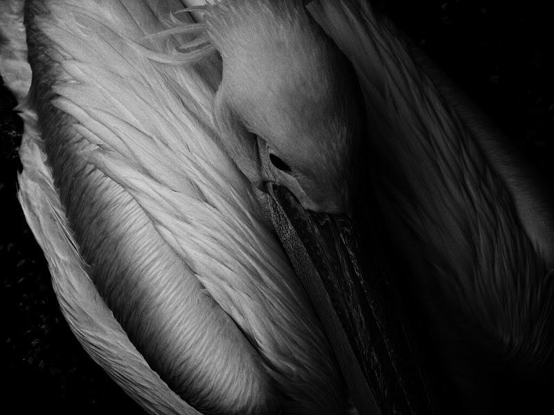 The dark side of the pelican di Roberta Ricciardi