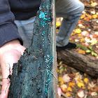 Blue Stain fungi