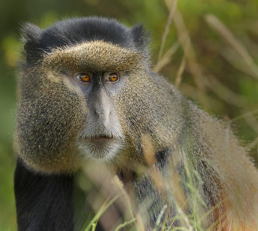 Wild Golden Monkey by Stuart Clark - Animals Other Mammals ( wild, uganda, trekking, endangered, rwanda, primate, adventure travel, africa, monkey )