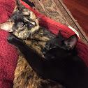 DSH felines