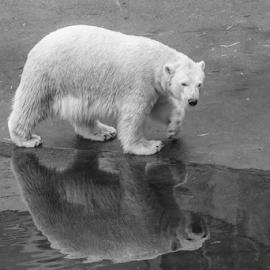 Polar by Garry Chisholm - Black & White Animals ( polar bear, nature, mammal, ranua, garry chisholm )