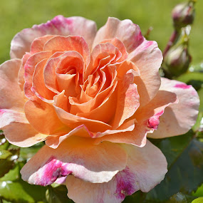 multicoloured rose by Eloise Rawling - Flowers Single Flower ( single rose, rose, multicoloured rose, single flower,  )