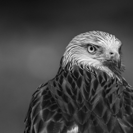 Kite by Garry Chisholm - Black & White Animals ( raptor, bird of prey, nature, kite, garry chisholm )