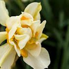 Narcissus tarzetta