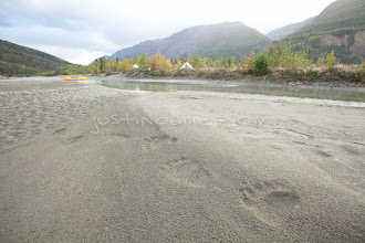 Photo: Tracks of grizzly bear as seen alon the Tatshenshini River. Coastal grizzly bears rely on salmon to stock up on fats and nutirents to make it through the cold winters.