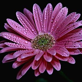 Pink Rain drops  by Pieter J de Villiers - Flowers Single Flower